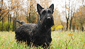 Scottish Terrier Information, Bilder, Preis