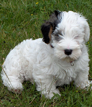 Sealyham Terrier Information, Bilder, Preis