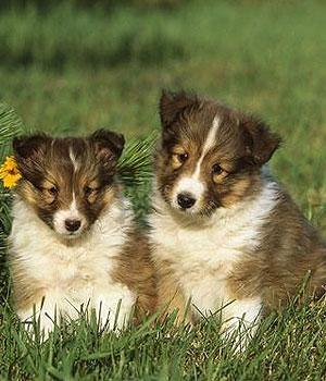 Shetland Sheepdog Information, Bilder, Preis