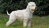 Soft coated Wheaten Terrier Information, Bilder, Preis