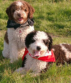 Spanish Water Dog Information, Bilder, Preis