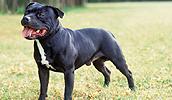 Staffordshire Bull Terrier Information, Bilder, Preis