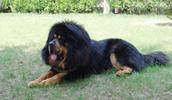Tibetan Mastiff Information, Bilder, Preis