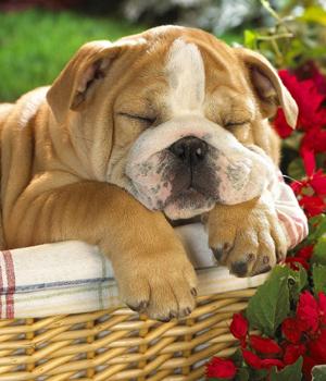Toy Bulldog Information, Bilder, Preis