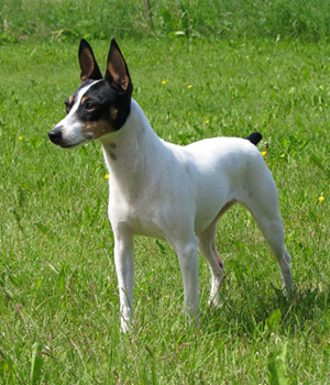 Toy Fox Terrier Information, Bilder, Preis