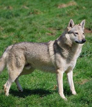 Tschechoslowakischer Wolfhund Information, Bilder, Preis