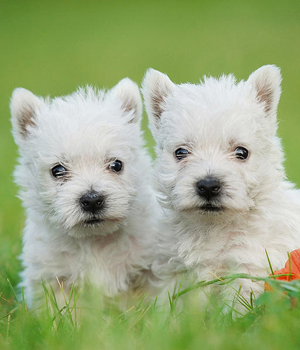 West Highland White Terrier Information, Bilder, Preis