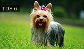 Yorkshire Terrier Information, Bilder, Preis